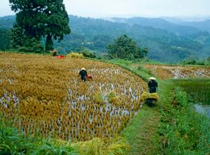 雨中の稲刈りの写真素材 [FYI04036023]