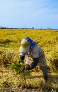 新潟の稲刈り風景の写真素材 [FYI04036029]