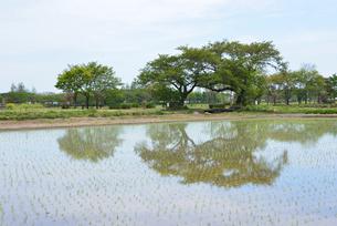 夫婦桜の新緑の写真素材 [FYI04036307]