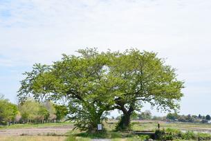 夫婦桜の新緑の写真素材 [FYI04036308]