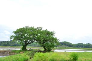 夫婦桜の新緑の写真素材 [FYI04036309]