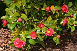 新潟県立鳥屋野潟公園に咲くユキツバキの写真素材 [FYI04036367]