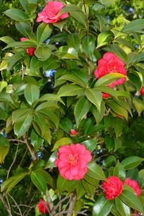 新潟県立鳥屋野潟公園に咲くユキツバキの写真素材 [FYI04036370]