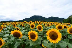 ひまわりの咲く山の風景の写真素材 [FYI04036429]