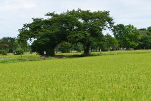 夫婦桜の木の写真素材 [FYI04036434]