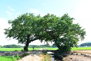 夫婦桜の木の写真素材 [FYI04036443]