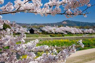 桜の写真素材 [FYI04036789]