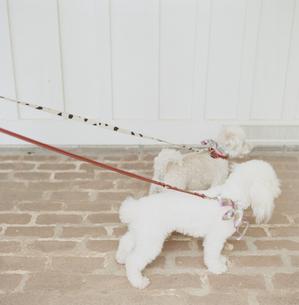 リードにつながれた2匹の犬の写真素材 [FYI04037842]