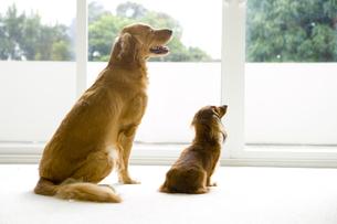窓の外を見つめる犬2匹の写真素材 [FYI04037938]