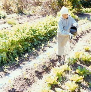 畑の野菜に水をやる日本人女性の写真素材 [FYI04040120]