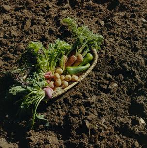 収穫された野菜の写真素材 [FYI04040133]