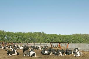 牧場の牛の写真素材 [FYI04041155]