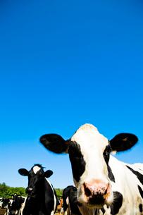 牧場の牛の写真素材 [FYI04041158]