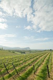 ワイン用ブドウ畑の写真素材 [FYI04041159]