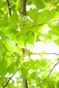 新緑と木漏れ日の写真素材 [FYI04041167]