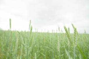 秋蒔き小麦の畑の写真素材 [FYI04041174]