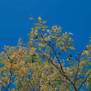 キハダの紅葉と実の写真素材 [FYI04041189]