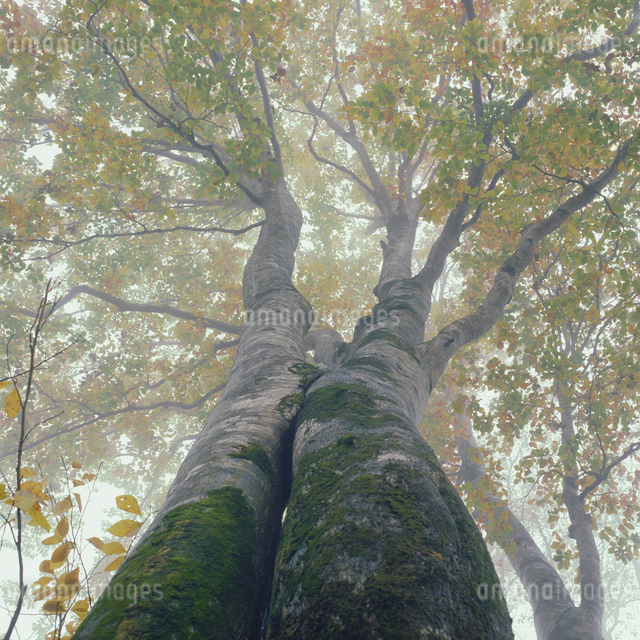 ブナの大木と木洩れ日の写真素材 [FYI04041193]