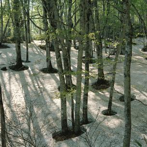 残雪のブナ林の写真素材 [FYI04041200]