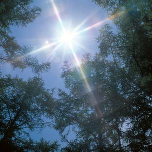 カラマツ林に射す太陽の写真素材 [FYI04041201]