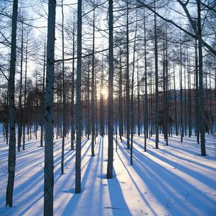 雪のカラマツ林残照の写真素材 [FYI04041204]