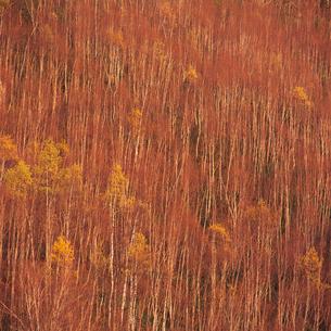 夕陽に染まるダケカンバ林の写真素材 [FYI04041212]