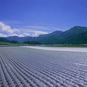 金峰山麓高原野菜 畑の写真素材 [FYI04041220]