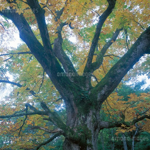 トチノキの大木の写真素材 [FYI04041223]