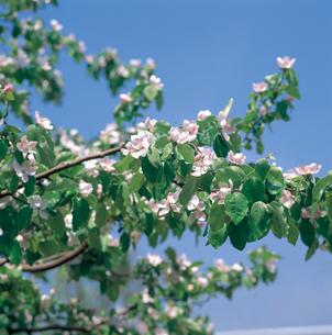 カリンの花の写真素材 [FYI04041232]