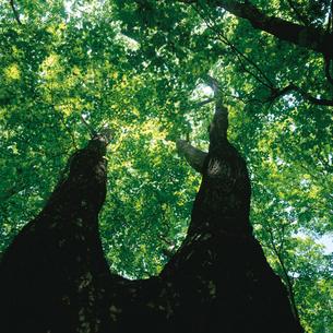 カエデ(モミジ)の木漏れ日の写真素材 [FYI04041233]