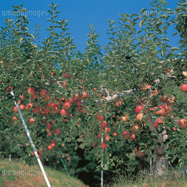 リンゴ畑の写真素材 [FYI04041235]