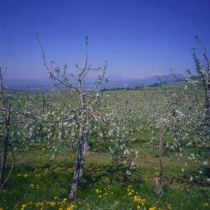 リンゴの花咲くリンゴ畑の写真素材 [FYI04041236]
