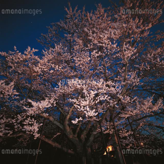 夜の神代桜の写真素材 [FYI04041245]