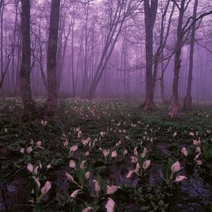 霧にけむるミズバショウの群落の写真素材 [FYI04041246]