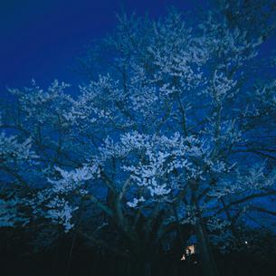神代桜(エドヒガン)の写真素材 [FYI04041248]