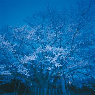 神代桜(エドヒガン)の写真素材 [FYI04041252]