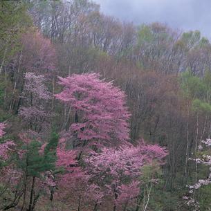 桜咲く春霞の山肌の写真素材 [FYI04041269]