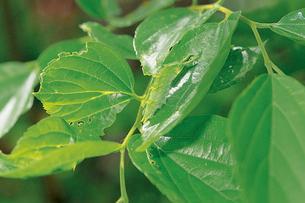 オオムラサキ エノキの葉上の5齢幼虫の写真素材 [FYI04041272]
