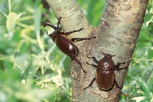 ヤナギ類に吸汁するカブトムシの写真素材 [FYI04041278]