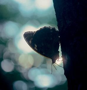 オオムラサキの写真素材 [FYI04041279]