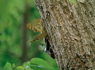 樹液場を共有するカブトムシとオオムラサキの写真素材 [FYI04041282]