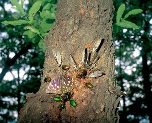 クヌギの樹液に集まる オオムラサキ、カナブン、アオカナブンのの写真素材 [FYI04041285]