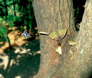 オオムラサキ クヌギの樹液を吸うメスと、求愛行動のオスたちの写真素材 [FYI04041290]