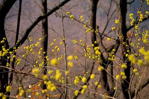 アブラチャン 花咲くの写真素材 [FYI04041291]