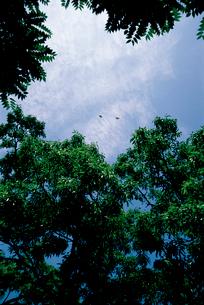 オオムラサキ 見通しのよい林内の空間をテリトリー飛翔するの写真素材 [FYI04041295]