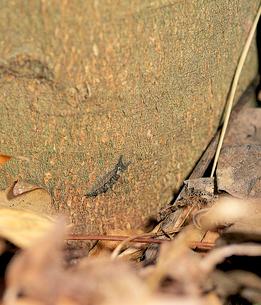 オオムラサキ 春、食樹の根元から登りだすの写真素材 [FYI04041296]