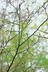 エノキの芽吹きと、小枝分岐部に静止するオオムラサキの越冬後幼の写真素材 [FYI04041297]