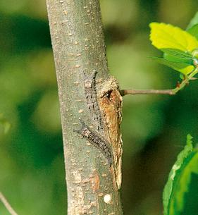 オオムラサキ 数日間かけて幹から小枝へと登るの写真素材 [FYI04041299]