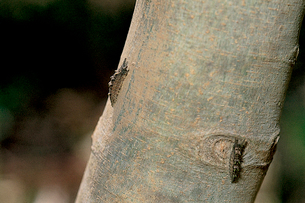 オオムラサキ 数日間かけて幹から小枝へと登るの写真素材 [FYI04041300]