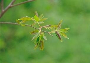新葉に静止するゴマダラチョウの幼虫(左)とオオムラサキの幼虫の写真素材 [FYI04041303]